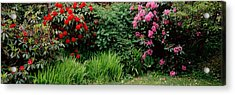 Rhododendrons Plants In A Garden, Shore Acrylic Print by Panoramic Images