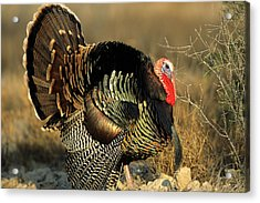Rio Grande Wild Turkey (meleagris Acrylic Print by Richard and Susan Day