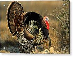 Rio Grande Wild Turkey (meleagris Acrylic Print