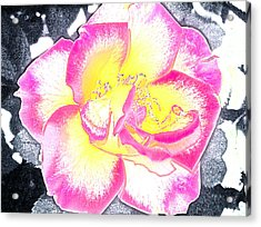 Rose 3 Acrylic Print by Pamela Cooper