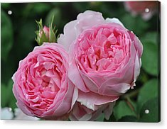 Acrylic Print featuring the photograph Rose Constance Spry by Sabine Edrissi