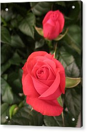 Roses In Red Acrylic Print