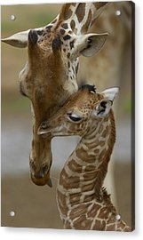 Rothschild Giraffe And Calf Acrylic Print