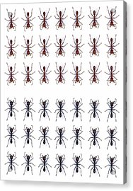 Rows Of Ants Acrylic Print by Gustoimages/science Photo Library