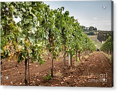 Rows On Vines With A Mechanical Harvester In The Distance Harves Acrylic Print