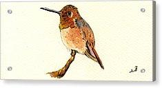 Rufous Hummingbird Acrylic Print