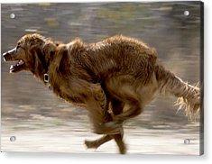 Running Golden Retriever Acrylic Print by William H. Mullins
