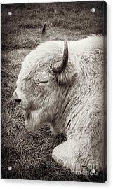 Sacred Buffalo Acrylic Print