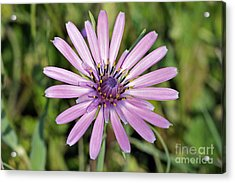Acrylic Print featuring the photograph Salsify Flower by George Atsametakis
