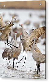 Sandhill Cranes Dancing On The Platte Acrylic Print