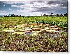 Santa Cruz Water Lily (victoria Cruziana) Acrylic Print