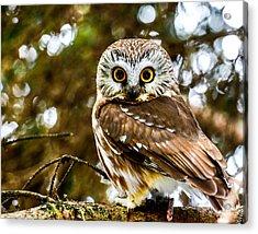 Saw-wet Owl Acrylic Print