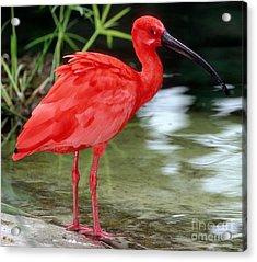 Scarlet Ibis Acrylic Print by Millard H Sharp