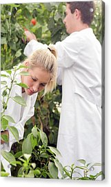 Scientists Examining Tomatoes Acrylic Print by Gombert, Sigrid