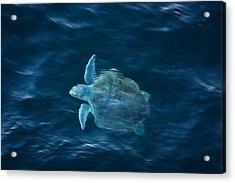Sea Turtle Acrylic Print by Tammy Schneider