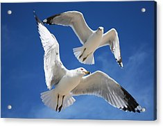 Seagulls In Love Acrylic Print