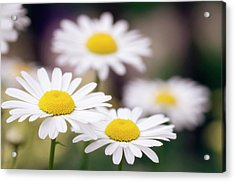 Shasta Daisy (leucanthemum 'filigran') Acrylic Print