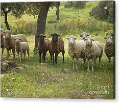 Sheep In Extremadura Acrylic Print