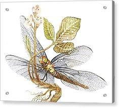Sheer Wings / Sold Acrylic Print