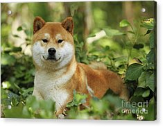 Shiba Inu Dog Acrylic Print by Jean-Michel Labat
