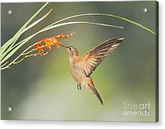 Shining Sunbeam Hummingbird Acrylic Print