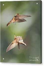 Shining Sunbeam Hummingbirds Acrylic Print by Dan Suzio