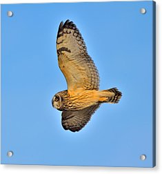Acrylic Print featuring the photograph Short-eared Owl In Flight by Kathy King
