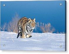 Siberian Tiger Acrylic Print by Alan Carey