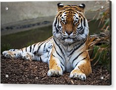 Siberian Tiger Acrylic Print by Svetlana Sewell