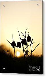 Snakes Head Fritillary Flowers At Sunset Acrylic Print