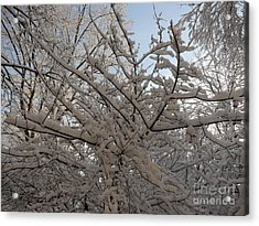 Snow Covered Tree And Sun Acrylic Print by Winifred Butler