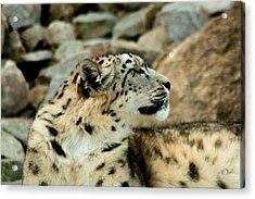 Snow Leopard Acrylic Print by Daniel Precht