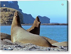 Southern Elephant Seal Female (cow Acrylic Print
