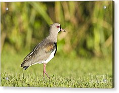 Southern Lapwing Acrylic Print by William H. Mullins