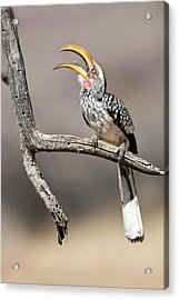 Southern Yellow-billed Hornbill Acrylic Print