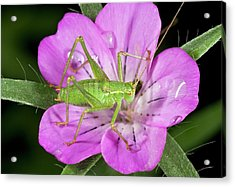 Speckled Bush-cricket On Corncockle Acrylic Print by Bob Gibbons
