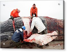 Sperm Whale Dissection Acrylic Print