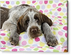 Spinone Puppy Dog Acrylic Print