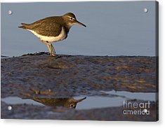 Spotted Sandpiper Reflection Acrylic Print