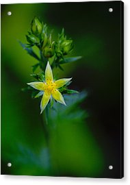 Starflower Acrylic Print
