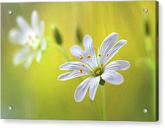 Stitchwort Acrylic Print by Mandy Disher