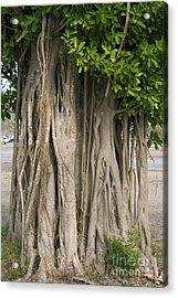Strangler Fig Ficus Aurea Acrylic Print by Bob Gibbons