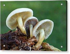 Sulphur Tuft Fungus Acrylic Print