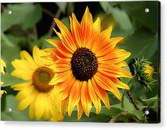Sunflowers Acrylic Print by Dennis Bucklin