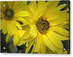 Sunflowers Acrylic Print by Fran Gallogly