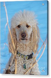 Sunny Boy Blue Acrylic Print by Judy Via-Wolff