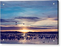 Sunrise - Snow Geese - Birds Acrylic Print by SharaLee Art