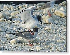 Swallow-tailed Gulls Mating Acrylic Print
