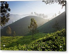 Tea Plantations, Munnar, Western Ghats Acrylic Print by Peter Adams