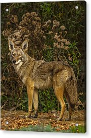 The Coyote Acrylic Print by Ernie Echols
